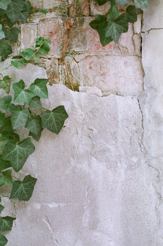 vine growing on a wall